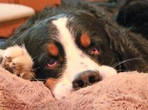 Berner Sennenhund Моя любимая собака! стоковая фотография rf
