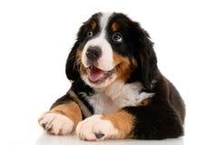Berner sennenhund Stock Image
