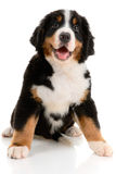 Berner sennenhund Stock Photography