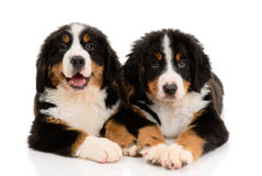Berner sennenhund Stock Photos