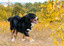 Berner Sennenhund fotografie stock