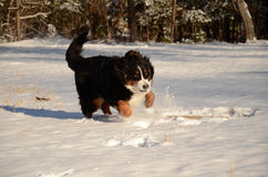 Berner Sennenhund stockfotos