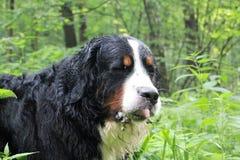 Berner Sennenhund Image stock