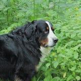 Berner Sennenhund Photos libres de droits