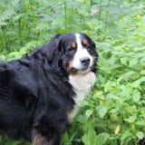Berner Sennenhund Photographie stock libre de droits