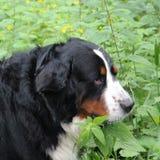 Berner Sennenhund. Really Beautiful Bernese Mountain Dog Stock Photo