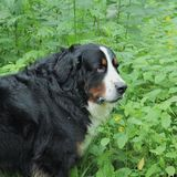 Berner Sennenhund. Bernese mountain Dog on a walk in the Park Royalty Free Stock Photos
