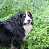 Berner Sennenhund. Bernese mountain Dog on a walk in the Park Royalty Free Stock Photography