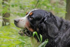 Berner Sennenhund. Bernese mountain Dog on a walk in the Park.nPortrait of a Bernese mountain dog.nReally Beautiful Bernese Mountain Dog. nGreat dog - Bernese Stock Photography