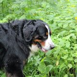 Berner Sennenhund. Bernese mountain Dog walking on the forest paths Royalty Free Stock Photos