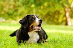 Berner Sennenhund, der auf Gras liegt stockfotos