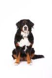 Berner Sennenhund, der auf Weiß sitzt Lizenzfreie Stockfotografie