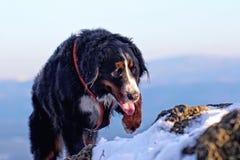 Berner Sennenhund an der Spitze eines schneebedeckten Berges in den Erz-Bergen in West-Böhmen It& x27; s-Winter stockbilder