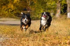Berner sennenhund dog Stock Image