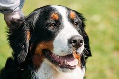 Berner Sennenhund för hund för Bernese berg slut upp Arkivfoto