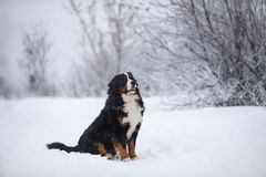 Berner Sennenhund går den stora hunden på i vinterlandskap arkivbild