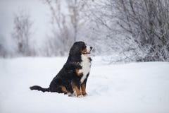 Berner Sennenhund går den stora hunden på i vinterlandskap arkivfoton