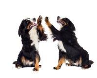 Berner Sennenhund gibt Tatze vorbei stockbilder