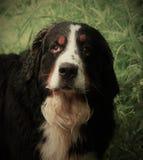 Berner Sennenhund. Great dog - Bernese mountain Dog! n Royalty Free Stock Image