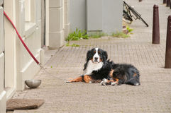 Berner Sennenhund having a rest near house Stock Photos