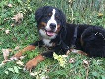 Berner Sennenhund im Herbst Stockbilder