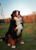 Berner Sennenhund le chien le plus beau Photos stock