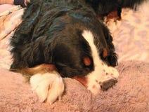 Berner Sennenhund Mon chien préféré ! Photographie stock