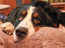 Berner Sennenhund Mon chien préféré ! Images libres de droits