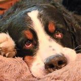 Berner Sennenhund Mon chien préféré ! Image libre de droits