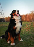 Berner Sennenhund the most beautiful dog. Berner Sennenhund a walk in the Izmailovo Park Stock Photos