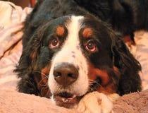 Berner Sennenhund. My favorite dog! Royalty Free Stock Photography