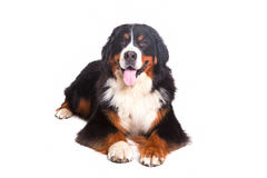 Berner Sennenhund no fundo branco Imagens de Stock Royalty Free