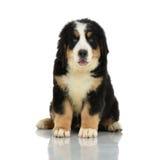 Berner Sennenhund ou cachorrinho da montanha de Bernese que senta-se no lo do estúdio fotos de stock royalty free