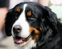 Berner Sennenhund  portrait Royalty Free Stock Image