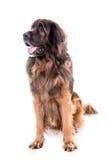 Berner Sennenhund psa portreta obsiadanie zdjęcie stock
