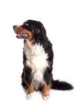Berner Sennenhund psa portreta obsiadanie zdjęcia royalty free