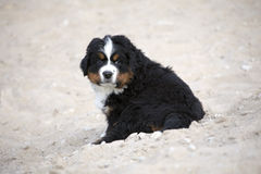 Berner Sennenhund puppy Royalty Free Stock Photography