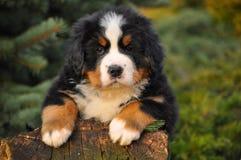Berner Sennenhund puppy Royalty Free Stock Photo