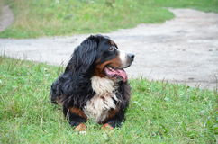 Berner sennenhund. Resting in the grass Stock Photography