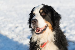 Berner sennenhund in snow Stock Image