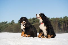 Berner sennenhund in snow Royalty Free Stock Photography