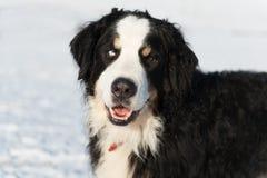 Berner sennenhund in snow Royalty Free Stock Photos
