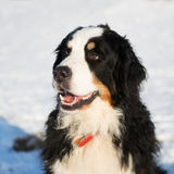 Berner sennenhund in snow Royalty Free Stock Images