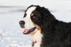 Berner sennenhund in snow Stock Photos