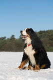 Berner sennenhund in snow Stock Photo