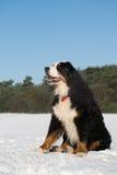 Berner sennenhund in snow Stock Photo