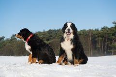 Berner Sennenhunden in snow landscape Royalty Free Stock Images