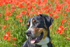 Berner Sennhund in poppy field royalty free stock photos