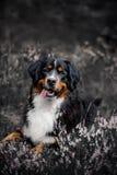 Bernes-Gebirgshund auf dem Gebiet mit Blumen und Beere lizenzfreies stockbild