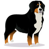 Bernes Mountain dog Royalty Free Stock Photography